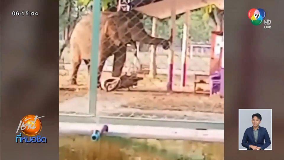 นาทีระทึก 'เจ้าแก้ว' ช้างป่าสีดอแก้ว หนีสถานกักกัน เข้ามาตีระฆังในโรงเรียน