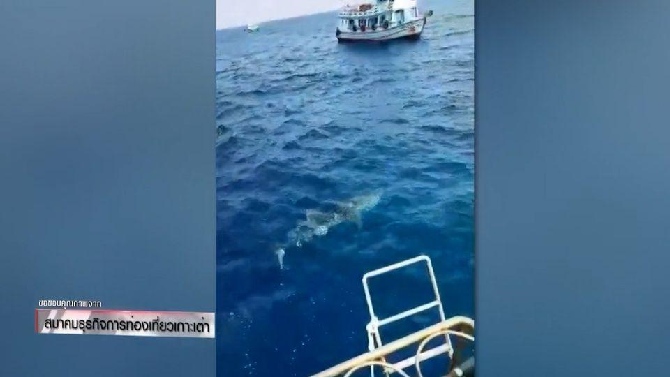 ฉลามวาฬโผล่อวดโฉม นทท.เกาะเต่า จ.สุราษฎร์ธานี
