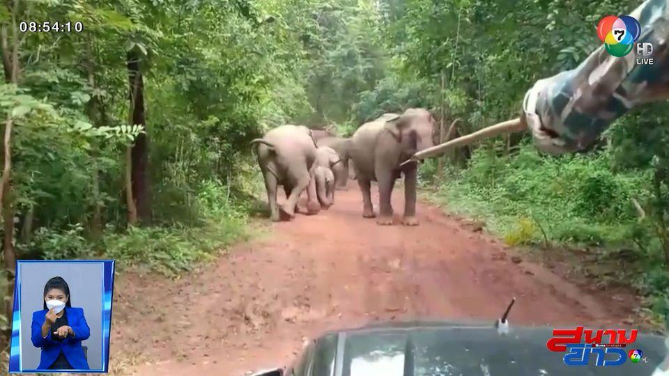 เปิดคลิปช้างป่าเจ้าถิ่นยกโขลงปิดถนน ส่งเสียงร้องขู่ เจ้าหน้าที่ที่ว่าแน่ ยังต้องถอย