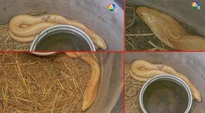 ผงะ! นักจับงูพบ งูเห่าเผือก ยาวเกือบ 2 เมตร เชื่อเป็นพญางูมีบริวาร